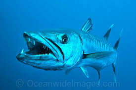 You can't tell me that barracudas aren't freaky looking, especially when they are just as long as I am...