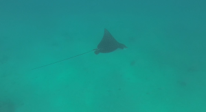 eagle ray we saw while snorkeling on Provo
