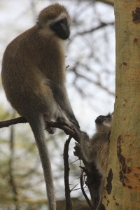 Vervet monkey (?) I think