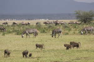 zebras and baboons