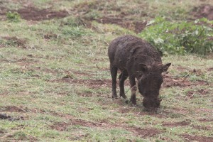 warthog!  I literally live in a scene from the lion king